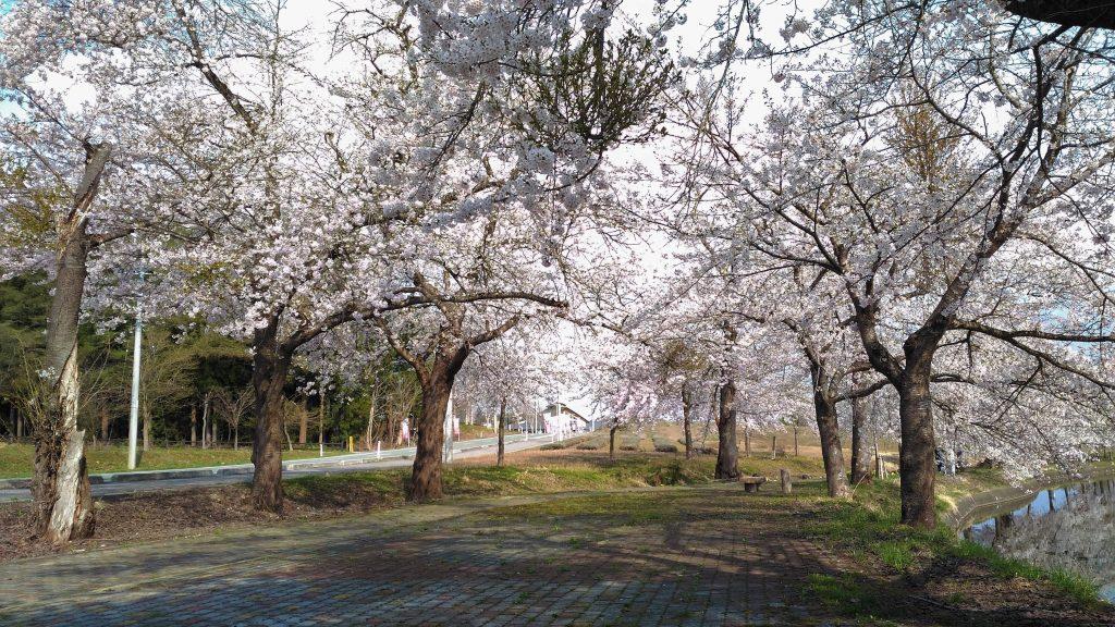 桜 | サンビレッジ徳良